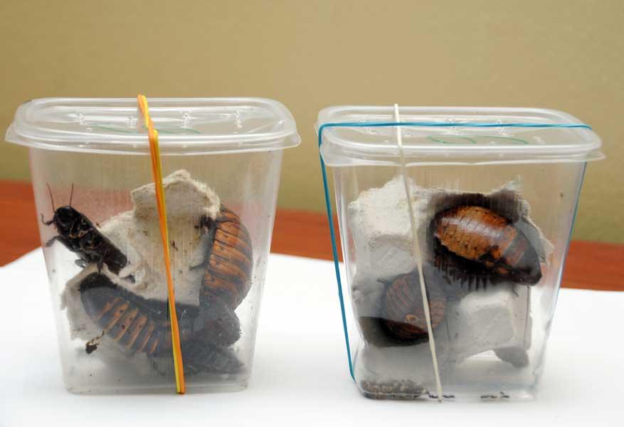 Cucarachas gigantes incautadas en Punta Cana