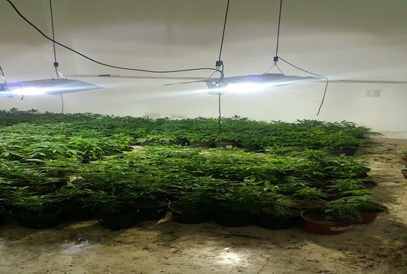 En Veron ocupan 771 matas de marihuana