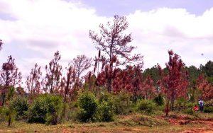 Plaga forestal ataca pinos Sierra Santiago