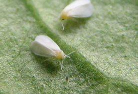 Veda cultivos hospederos mosca blanca