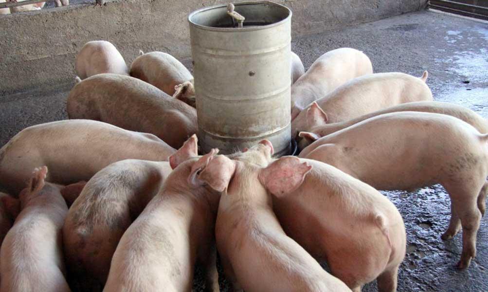 Dicen peste porcina africana está controlada