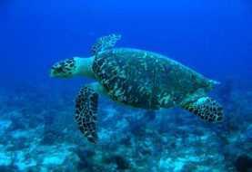 Cinco detenidos por muerte de tortuga Carey en la Isla Saona