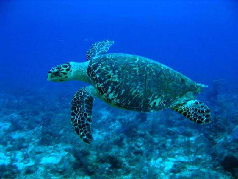 A prisión acusados muerte tortuga carey en la Isla Saona