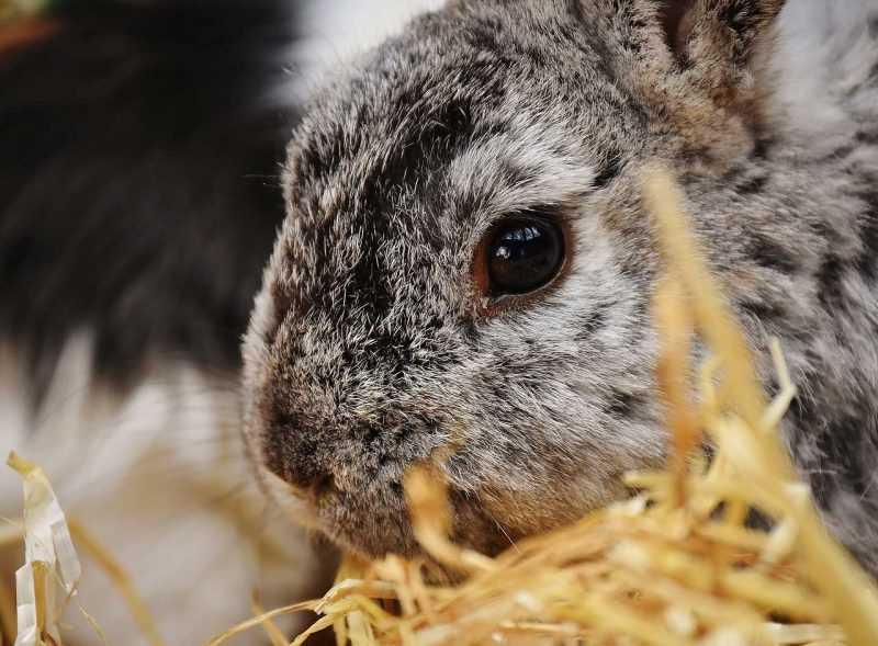 Productores de conejo contarán con matadero industrial para procesar carne