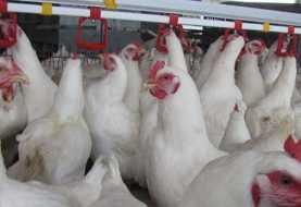 Espaillat: Detectan un brote de influenza aviar