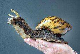 Ejecutan protocolo para erradicar caracol gigante africano