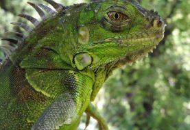 ¿Conoces los peligros de la Iguana Verde?