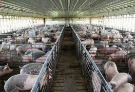 China sacrifica más de 20.000 cerdos por peste porcina