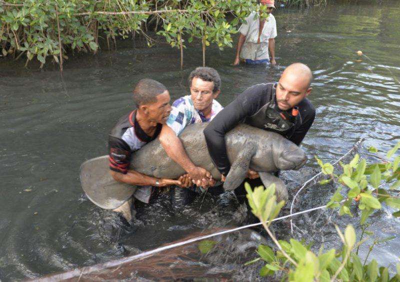 Manatí rescatado en Puerto Plata