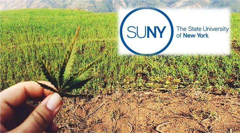 Universidad Nueva York (SUNY) enseñará a cosechar marihuana