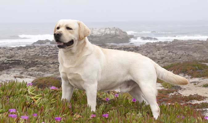 Labrador Retriever el perro más popular en EEUU