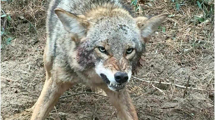 Coyote ataca en Mahwah de Nueva Jersey