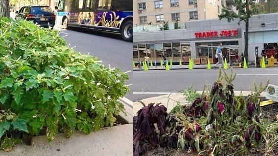 Eliminan planta altamente tóxica sembrada en vía de Manhattan