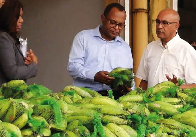 Aseguran precios del plátano está bajando
