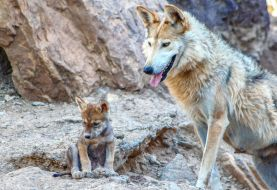 Avistan coyotes salvajes en parque Alto Manhattan