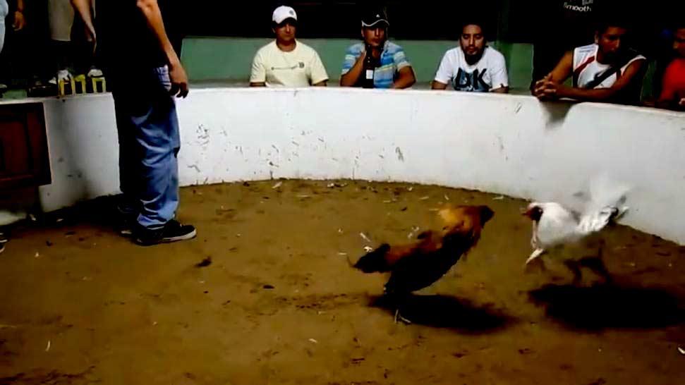 Por peleas de gallos dominicanos arrestados