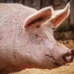 Productores de cerdos preocupados por muerte animales