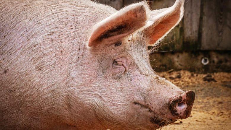 Nueva gripe porcina encontrada en China tiene potencial pandémico