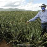 En Cotuí, gobierno apoyará productores de piña