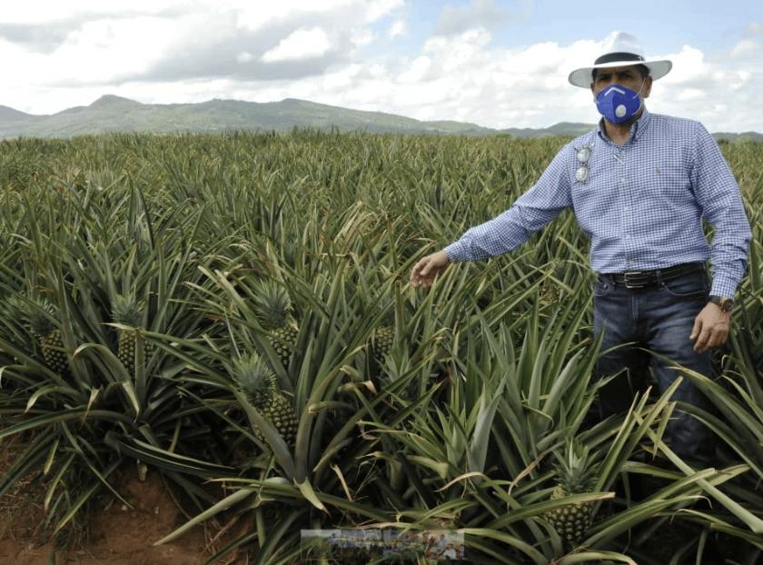 En Cotuí gobierno apoyará productores de piña