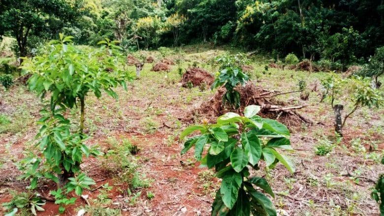 Eliminan plantación aguacates Sierra de Bahoruco