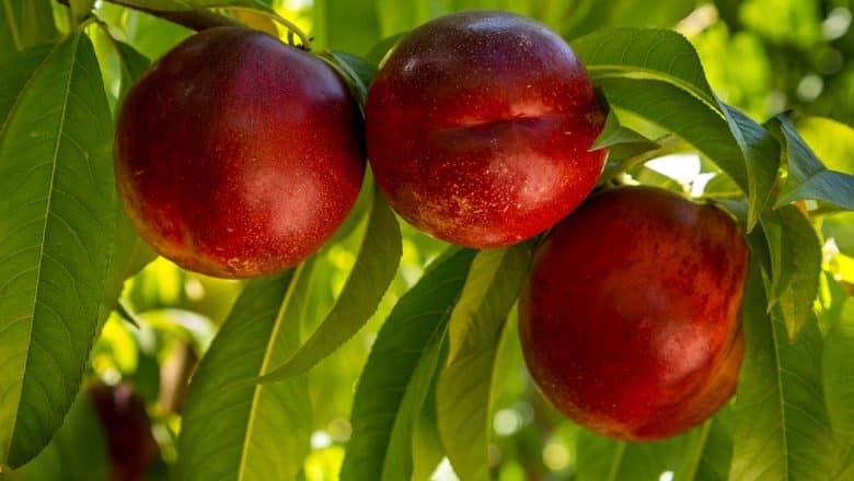 Chile crea frutas que soportan largos viajes