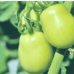 Gobierno irá en auxilio productores de tomate