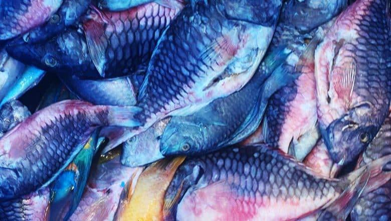 Decomisan 1,732 libras de pescados y lambies en veda